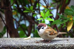 かってに愛鳥週間:最終日 スズメ